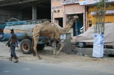 Normales Kamel auf der Straße?