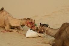 Wohlverdiente Pause der Lasten- und Reitkamele meiner Wüstentour.