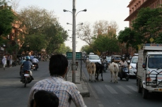 Platz da, hier kommen wir: Kühe haben auch entgegen der Fahrtrichtung Vorfahrt.